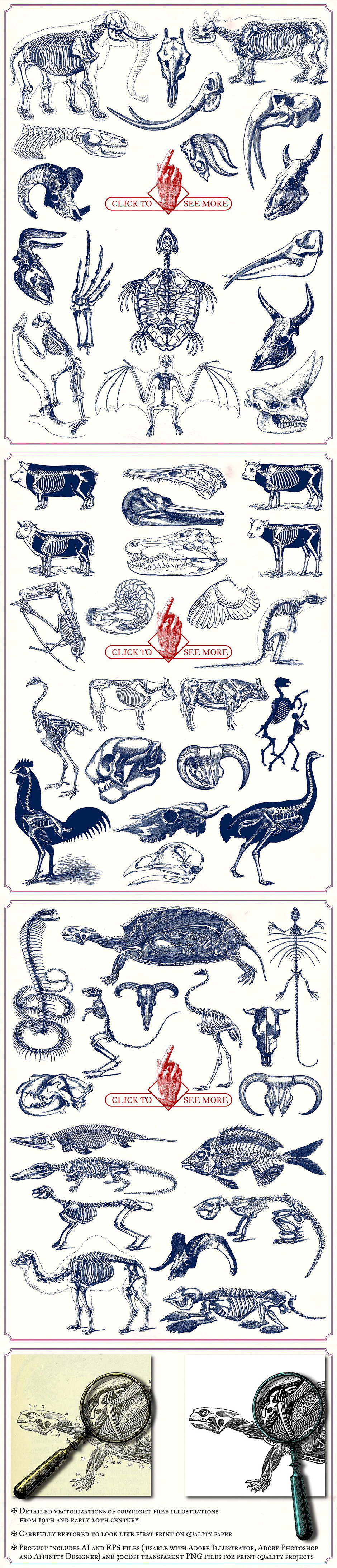 Vintage Animal Anatomy Vectors