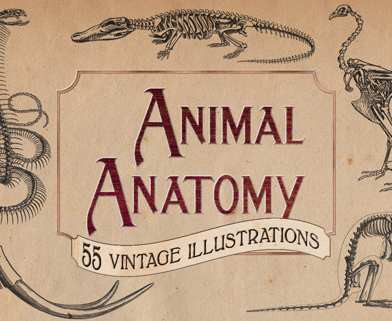 Vintage-Animal-Anatomy-Vectors-top