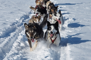 Huskies Sledding Through Snow