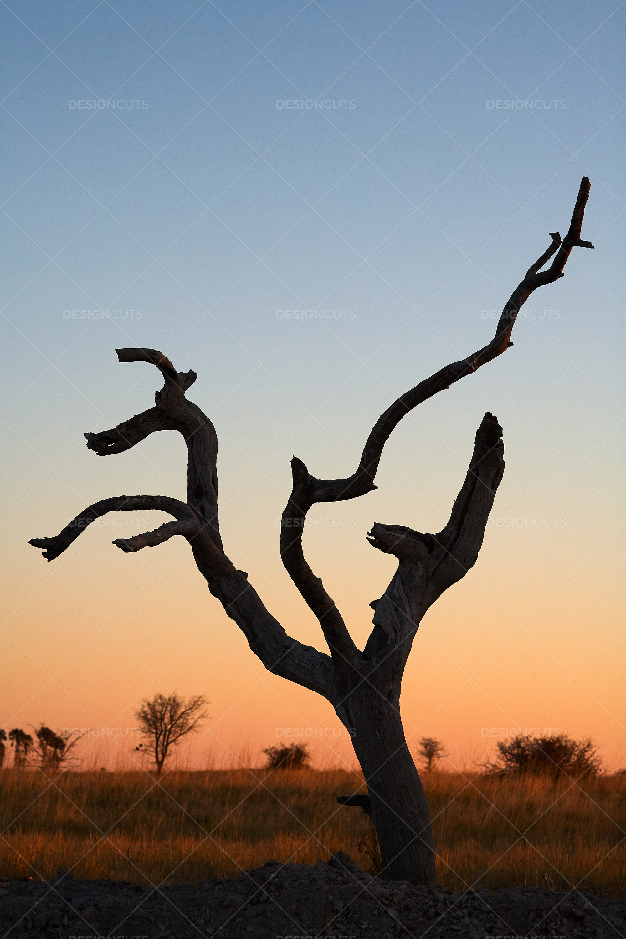 Kalahari Desert Tree Amidst The Sunset Botswana
