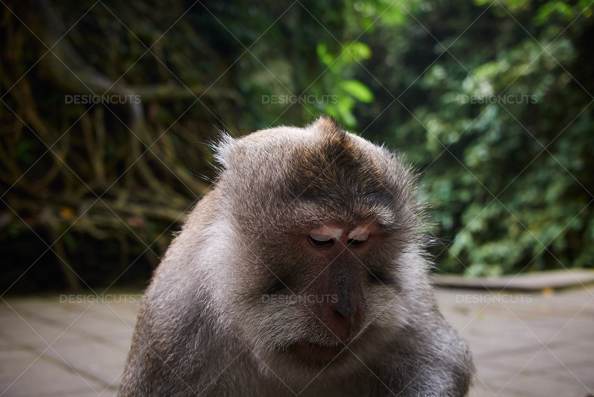 Closeup Of Monkey In Bali