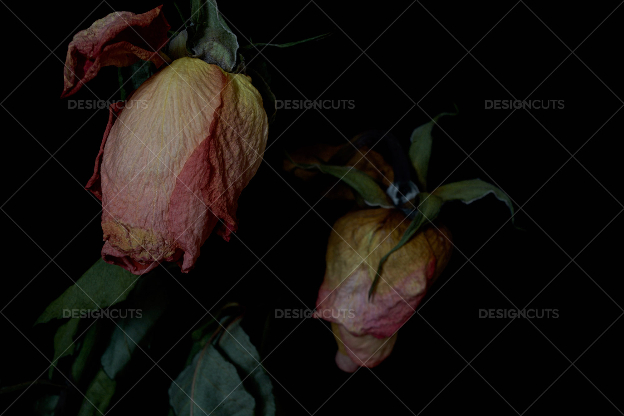 Dark Closeup Of Two Wilting Roses