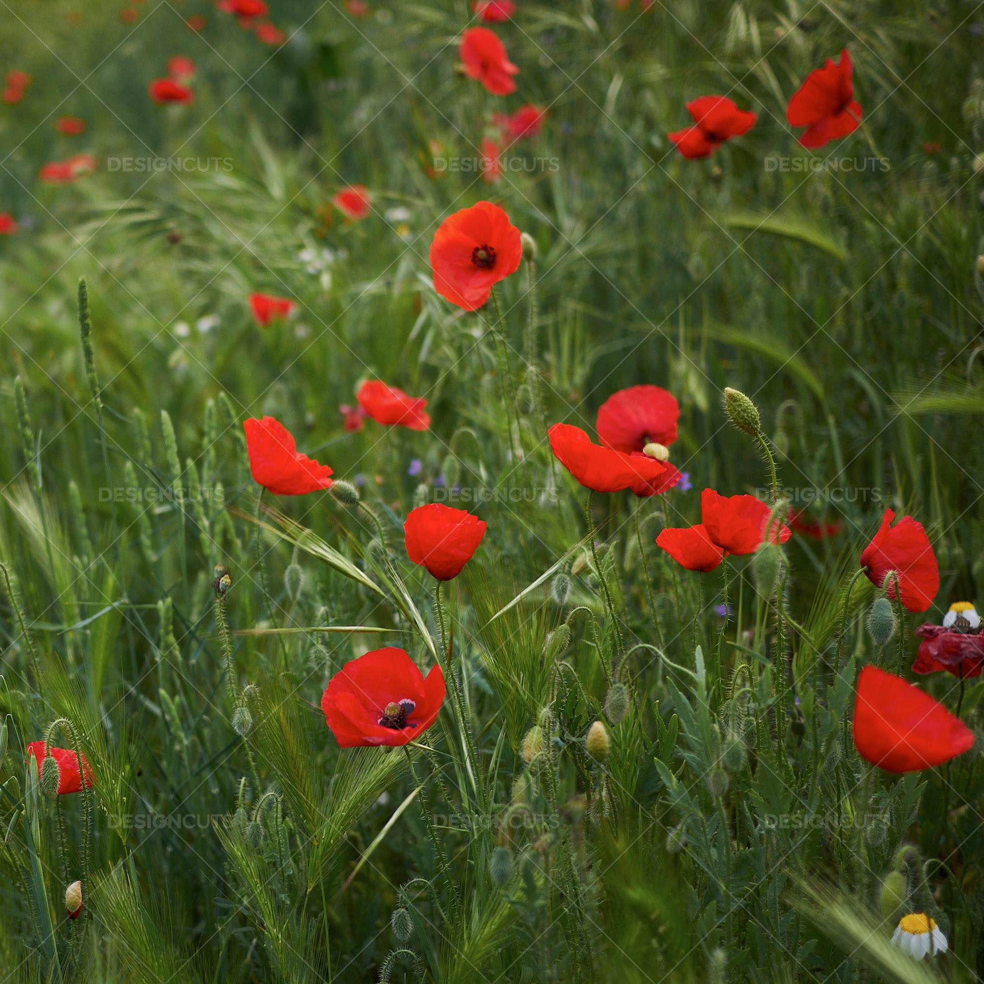 Closeup Of Red Poppies In Field 2