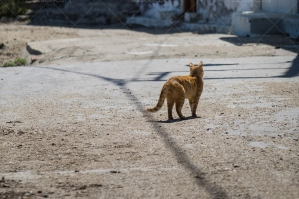 A Cat Wandering Along A Street No. 2