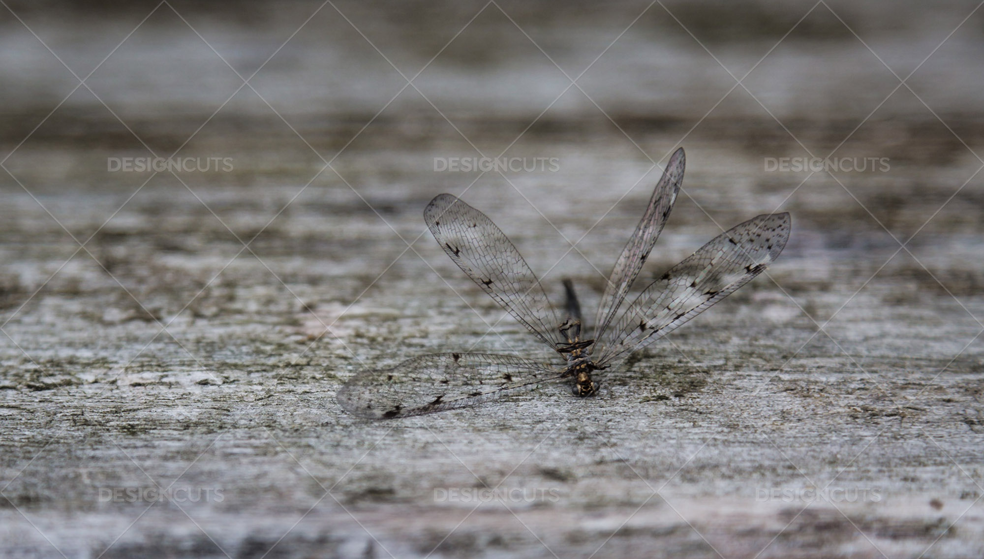 Closeup Of A Dead Dragonfly On A Piece Of Wood 3