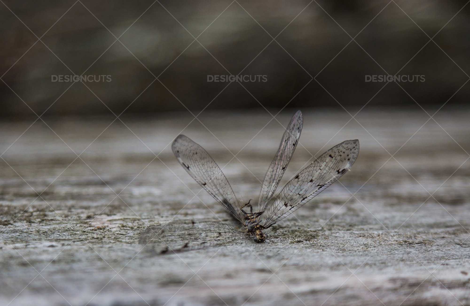 Closeup Of A Dead Dragonfly On A Piece Of Wood 4