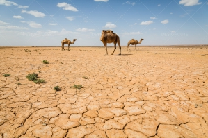 Cracked Earth Of The Sahara Desert With Camels No. 1