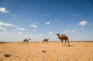 Cracked Earth Of The Sahara Desert With Camels No. 2