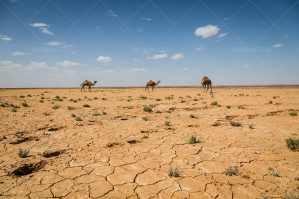 Cracked Earth Of The Sahara Desert With Camels No. 3