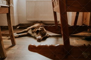 Dog Sleeping On Wooden Floor