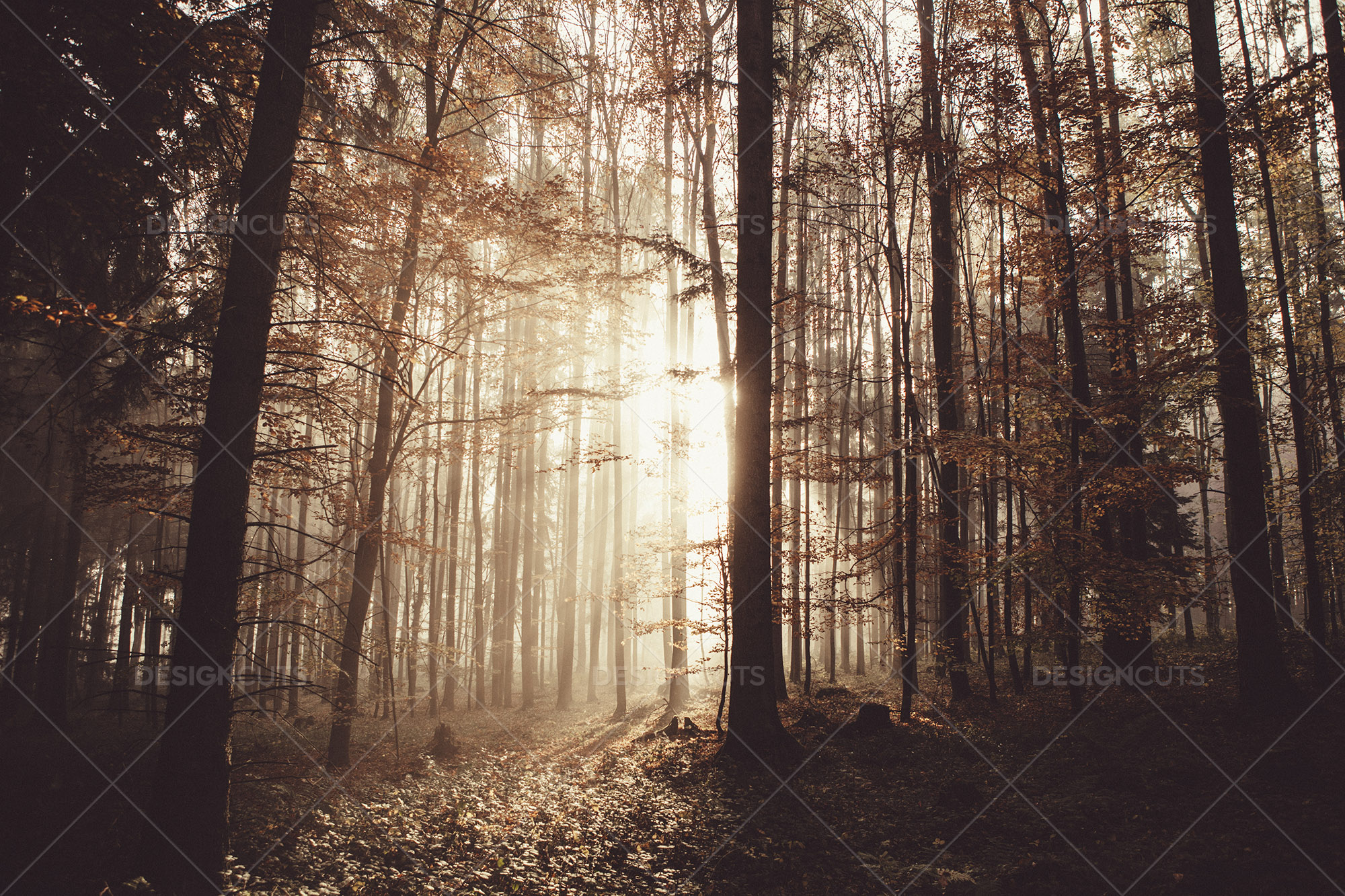 Golden Rays Of Morning Sun Shining Through The Forest