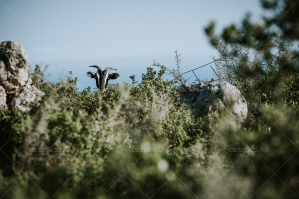 Head Of Hidden Goat Behind Bush On Eco Farm On Greek Island Of Zakynthos