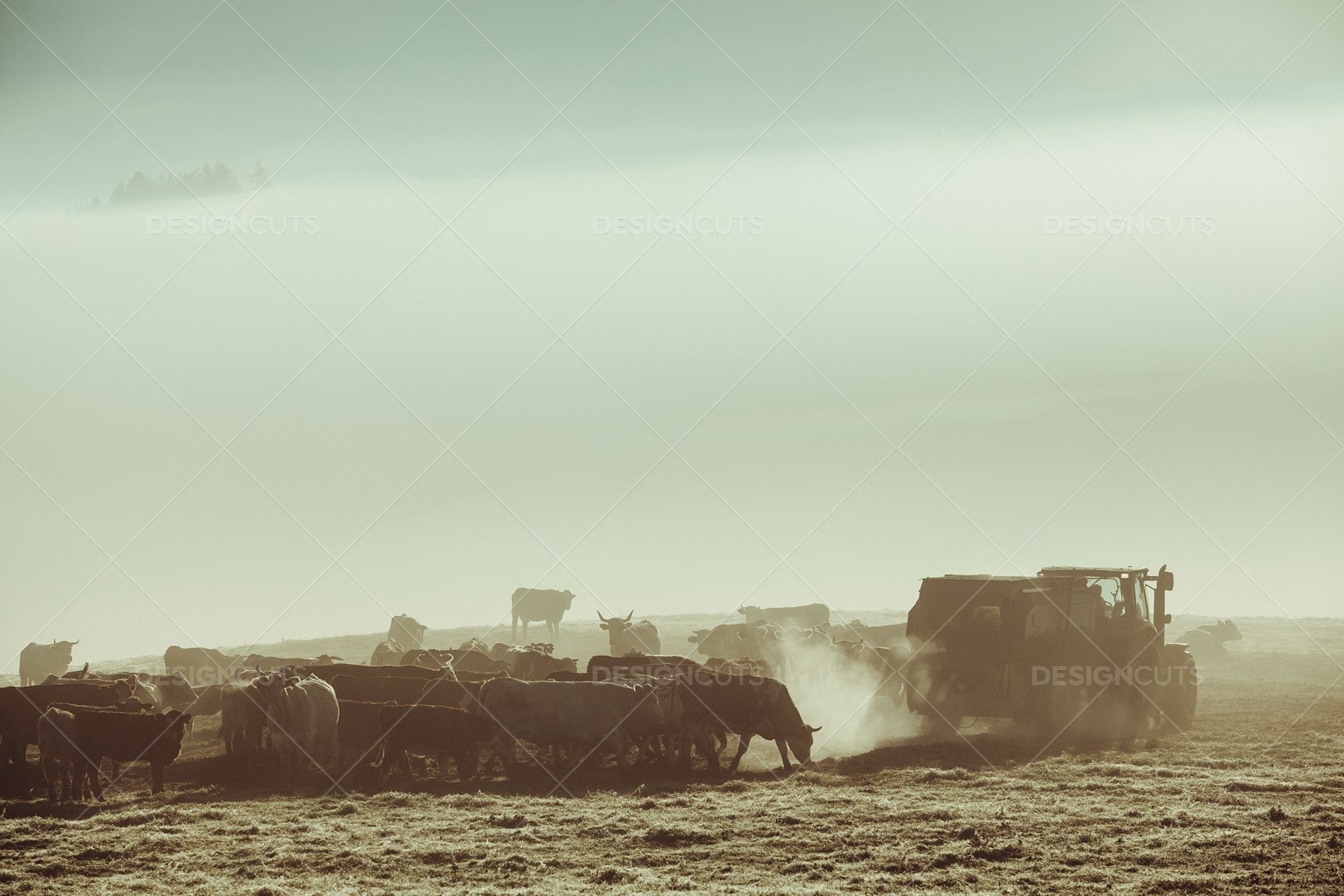 Herd Of Cows Awaiting Feeding From Tractor