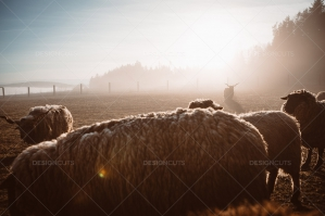 Herd Of Sheep On Pasture In Haze During Sunset