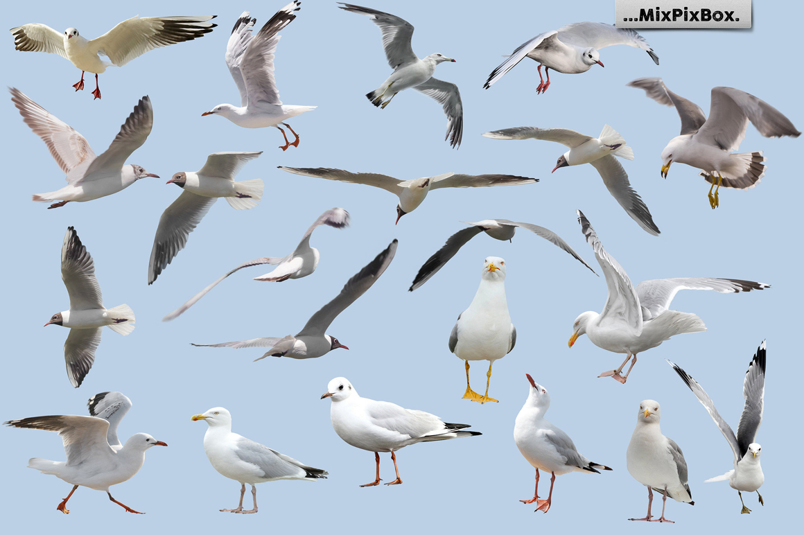 Seagulls Photo Overlays